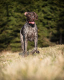 German Pointer at runtime Royalty Free Stock Photo