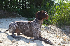 German pointer Stock Images