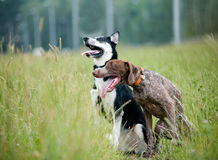 German pointer and siberian husky Royalty Free Stock Image