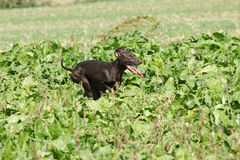 German pointing dog Stock Images