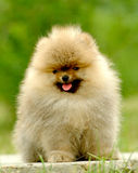 German pomeranian Royalty Free Stock Photo