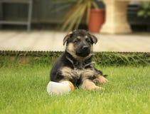 german puppy shepherd Στοκ εικόνα με δικαίωμα ελεύθερης χρήσης