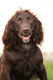 German Quail Dog Stock Photo