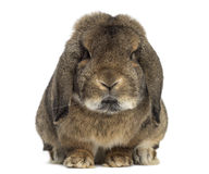 German Rabbit Ram isolated on white Stock Photo