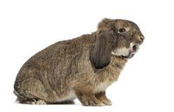 German Rabbit Ram isolated on white Royalty Free Stock Photo