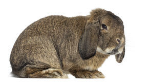 German Rabbit Ram stand up and isolated on white Stock Photos