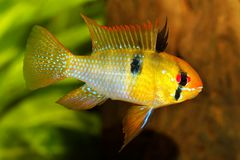 German Ram cichlid Mikrogeophagus ramirezi aquarium fish butterfly cichlid stock photos