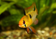German Ram cichlid Mikrogeophagus ramirezi aquarium fish butterfly cichlid royalty free stock images