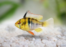 German Ram cichlid Mikrogeophagus ramirezi aquarium fish royalty free stock image