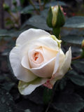 German rose called Kosmos, bred by Kordes Stock Photography