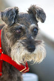 German Schnauzer Royalty Free Stock Photo