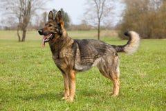 German sheep-dog Stock Photography