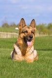 German sheep-dog Royalty Free Stock Photos