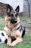 German sheep dog with an old ball Stock Photos