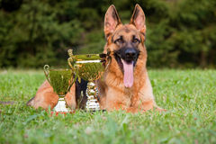 German Sheepdog. With cups laying on the grass stock image