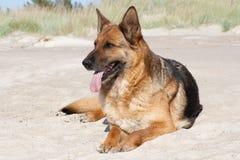 German sheepdog Stock Photography