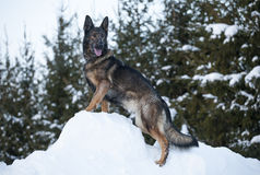 German sheepdog. Standing outside in white snow stock image