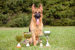 German Sheepdog with cups sitting on the grass Royalty Free Stock Image