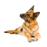 German Sheepdog isolated over white background Stock Images