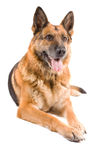 German Sheepdog isolated over white background Stock Photography
