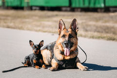 German Sheepdog And Miniature Pinscher Pincher Sitting Together. Brown German Sheepdog And Black Miniature Pinscher Pincher Sitting Together On Road stock photos
