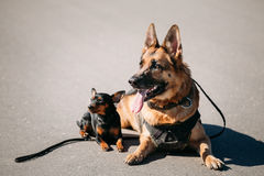 German Sheepdog And Miniature Pinscher Pincher Sitting Together Stock Image