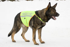 German sheepdog from rescue team Stock Image