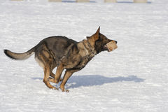 German Sheepdog running with aport Stock Photo
