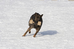 German Sheepdog running with aport Stock Images