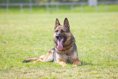 German sheepdog Royalty Free Stock Images