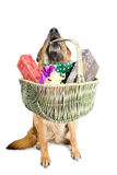 German Sheepdog sitting with Christmas gifts Royalty Free Stock Photo