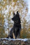 German sheepdog Stock Photos