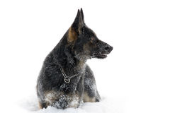 German Sheepdog in snow Royalty Free Stock Image