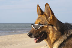 German sheepdog with solar glasses Stock Photos