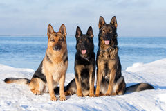 German Sheepdogs Stock Photos
