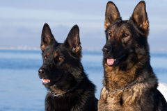 German Sheepdogs Royalty Free Stock Image