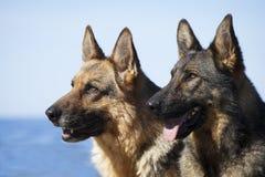 German sheepdogs portrait stock image