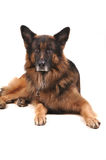 German shelpherd dog Royalty Free Stock Image