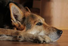 German shepard. At rest and thinking Royalty Free Stock Images