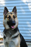 German Shepard. A German Shepard Dog posing on the porch Royalty Free Stock Photos