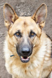 German shepard. Beautiful portrait of German shepard Royalty Free Stock Photography