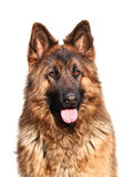 German shepard. Image of classic female german shepard long fur on white Royalty Free Stock Photo