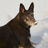 German Shepard. Dog outside in snow Stock Photography