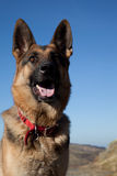 German shepard. Stock Photos