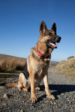 German shepard. A portrait of a German shepard, Alsation, dog, looking alert against a bright blue sky royalty free stock images