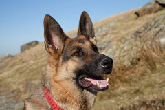 German shepard. A portrait of a German shepard, Alsation, dog, looking alert against a hillside and a bright blue sky stock photography