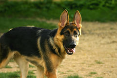 A German Shepard. Dog, with no lead Stock Photos