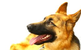 German Shepard. A studio portrait of a golden German Shepard dog isolated on a white background Stock Photo