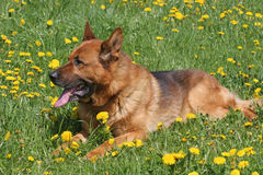 German Shepard. In the grass Royalty Free Stock Image