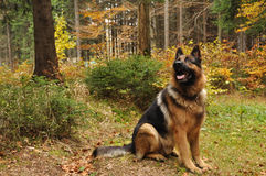 German shepard in autumn wood. German shepard with autumn leaves in background stock photography